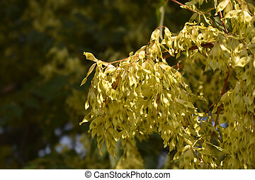 Tree of heaven seeds - Latin name - Ailanthus altissima