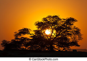 The natural landmark of Bahrain - the 400-year-old Tree of Life at sunset. Kingdom of Bahrain, Middle East