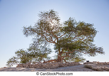 Natural landmark of Bahrain - the 400 years old Tree of Life. Kingdom of Bahrain, Middle East