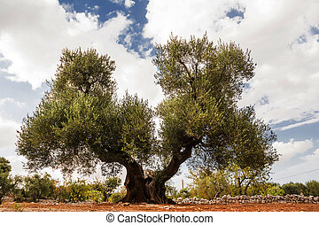 Tree of olive, secular with double hair