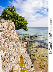 tree on the ancient wall on the seaside - fig tree on the...