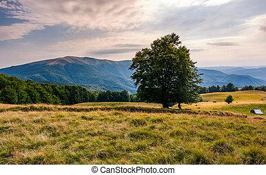 tree on the grassy alpine meadow of Carpathians