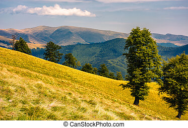 tree on the grassy hillside. Svydovets mountain ridge in the...