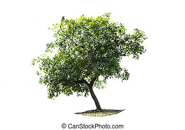 tree on the white background