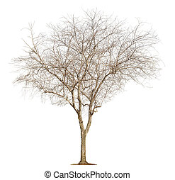 Tree on white background - Single old and leafless tree...