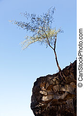 Tree perching on barren cliff face
