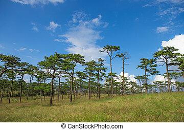 Tree pine forest mountain PhuSoiDao National Park in Uttaradit ,Thailand