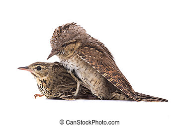 Tree Pipit (Anthus trivialis) and Eurasian wryneck (Jynx torquilla)