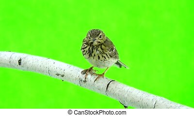 Tree Pipit (Anthus trivialis) isolated on a green background