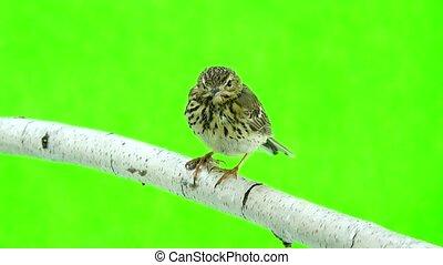 Tree Pipit