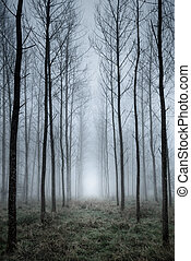 Tree plantation in fog - Looking along the lines of a tall...