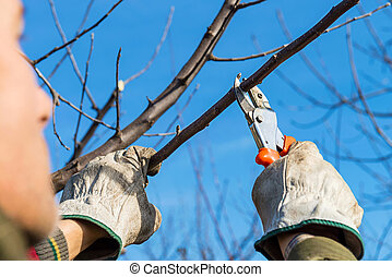 tree pruning - Man pruning tree brunch with pruning shears