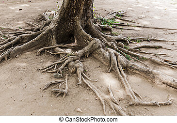 Tree root on dried land