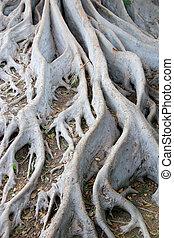 Tree Roots at Balboa Park