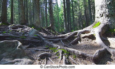 Tree Roots in a Magic Pine Forest