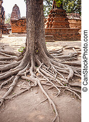 Tree roots in Ayutthaya historical park
