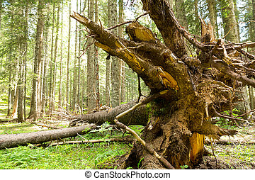 Tree roots in the forest