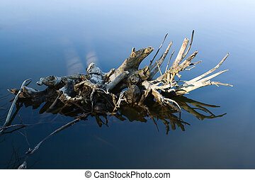 Tree Roots in the Water - Uprooted tree sits calmly in the...