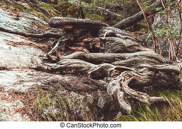 Tree roots on dirt trail. Hiking in coniferous forest in summer. Tourism and travel