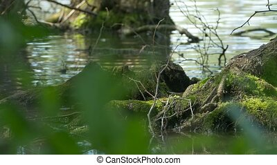 Tree Roots on Water - Close up shot of tree roots in the...