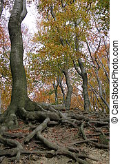 Tree roots in an autumn forest