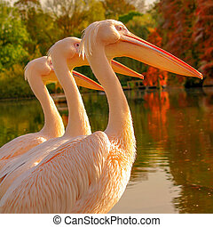 Tree Rosy Pelicans at the park lake in Autumn