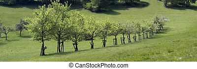 Row of trees in orchard in early summer