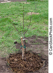 Tree seedling planted in soil - Fruit tree seedling planted...