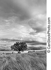 tree solitary on the hill - B&W