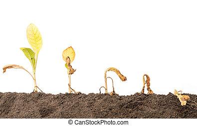 tree), solo, (tobacco, branca, morto, fundo, isolado, planta jovem