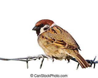 tree sparrow barbed wire isolated