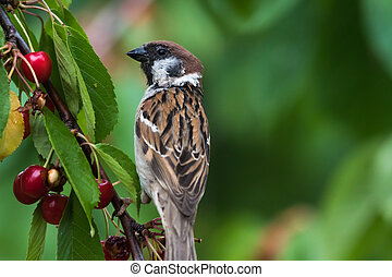 Tree Sparrow closeup in a cherry tree
