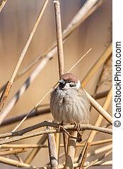 Tree Sparrow on branch (Passer montanus) Close Up