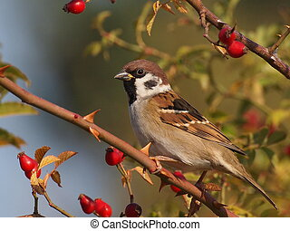 Tree Sparrow on branch, Passer montanus