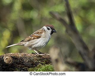 Tree Sparrow (Passer montanus
