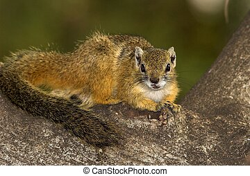 Tree Squirrel, also known as yellow-footed or bush or Mopane squirrel