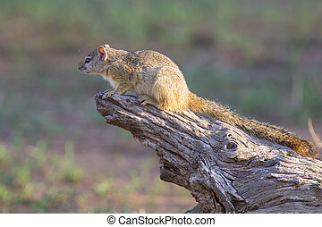 Tree squirrel climbing up a branch in morning sun