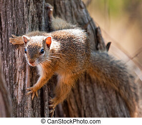 Tree squirrel climbing up a tree, clinging to the side