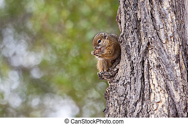 Tree squirrel eating a nut
