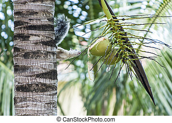 Tree Squirrel Eyes Up a Partly Chewed Coconut