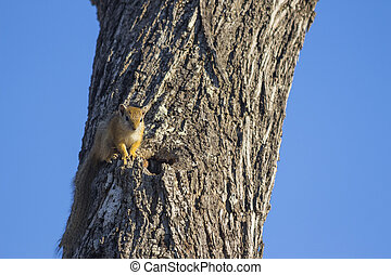 Tree squirrel in a tree