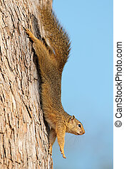 Tree squirrel in tree