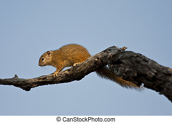 Tree squirrel on a branch with blue sky