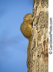 Tree squirrel sitting on the side of dry trunk