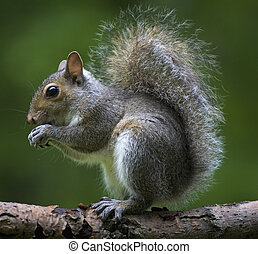 tree squirrel that is out on a limb in a forest