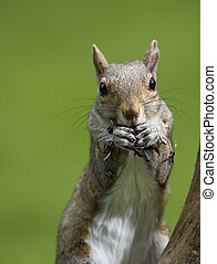 tree squirrel with a green background eating lots of seeds
