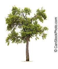 Tree - Isolated plum tree