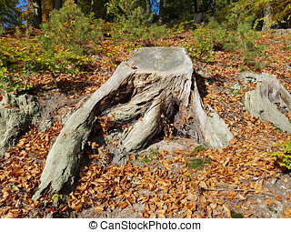 Tree stump and roots of a beech