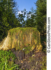 Tree Stump in a Bavaria forest