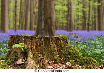 Tree stump in springtime - Large tree stump in a bluebell...